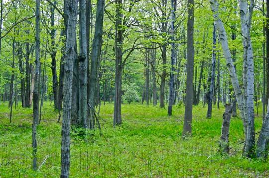 The Spring Woodlands