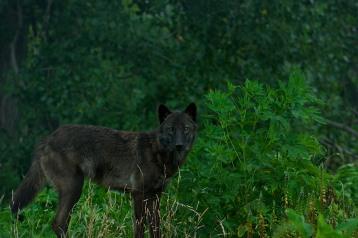 Stoic Wolf