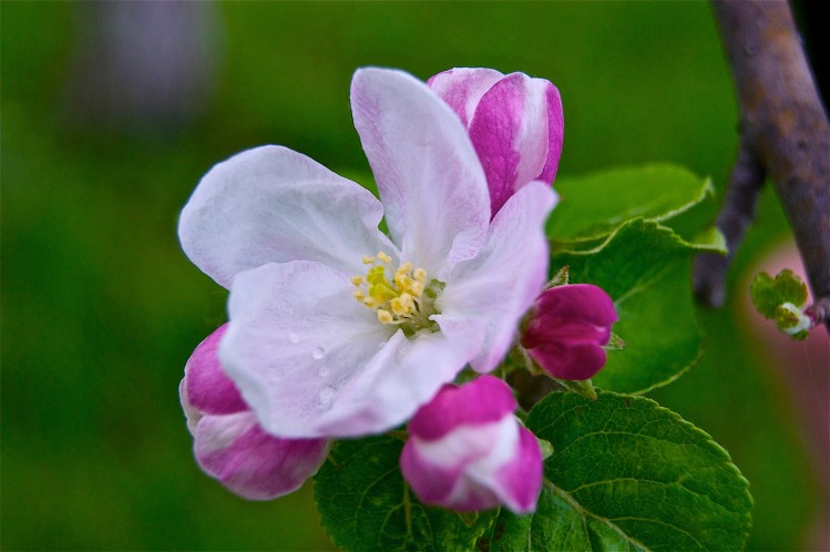 Early Spring Apple Blossom
