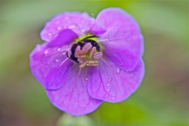 A Small Bee Curled Up in a Wild Geranium