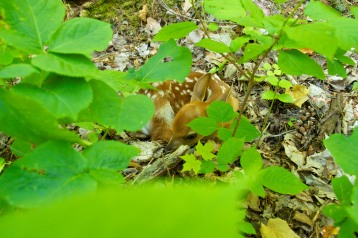 Fawn in July
