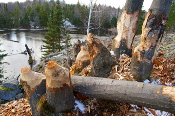The Beaver's work