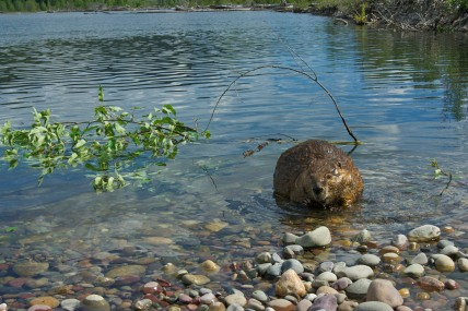 Beaver and his food