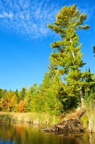 The Tall White Pine