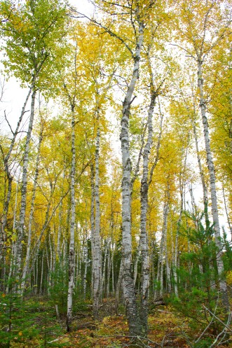 Birches in Fall
