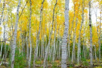 Birches in Fall
